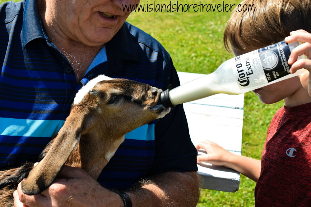 Bottle Feeding a Young Goat at Island Hill Farm, PEI