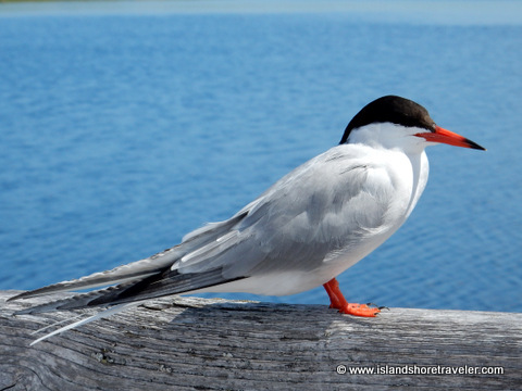Common Tern at Greenwich National Park, Prince Edward Island, Canada