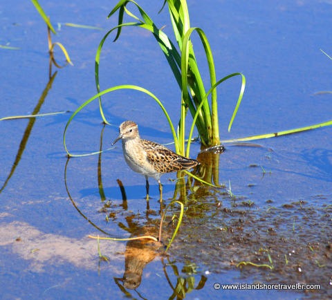 Sandpiper at Greenwich National Park, Prince Edward Island, Canada