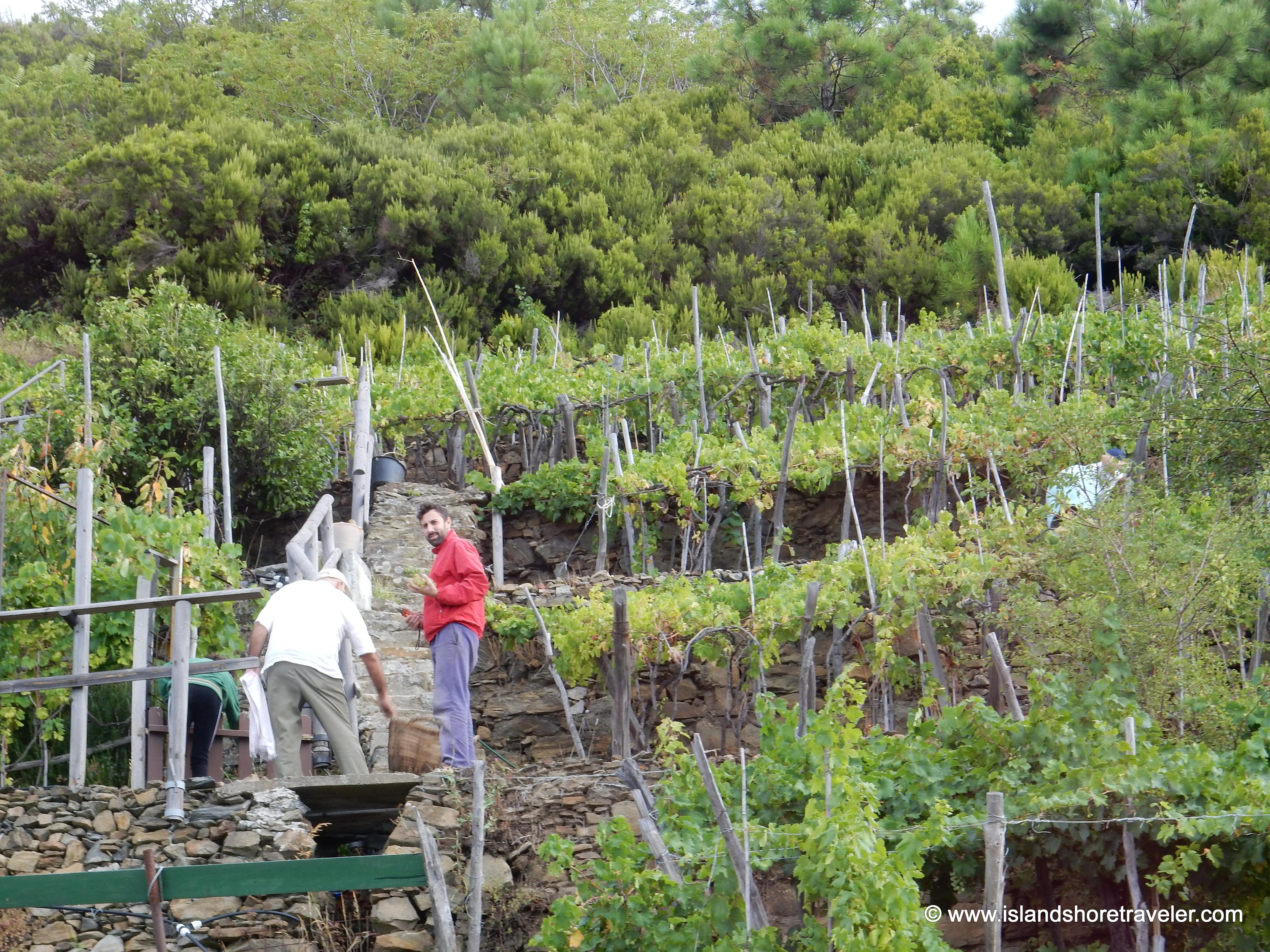 Grape Harvesting Near Manarola, Italy