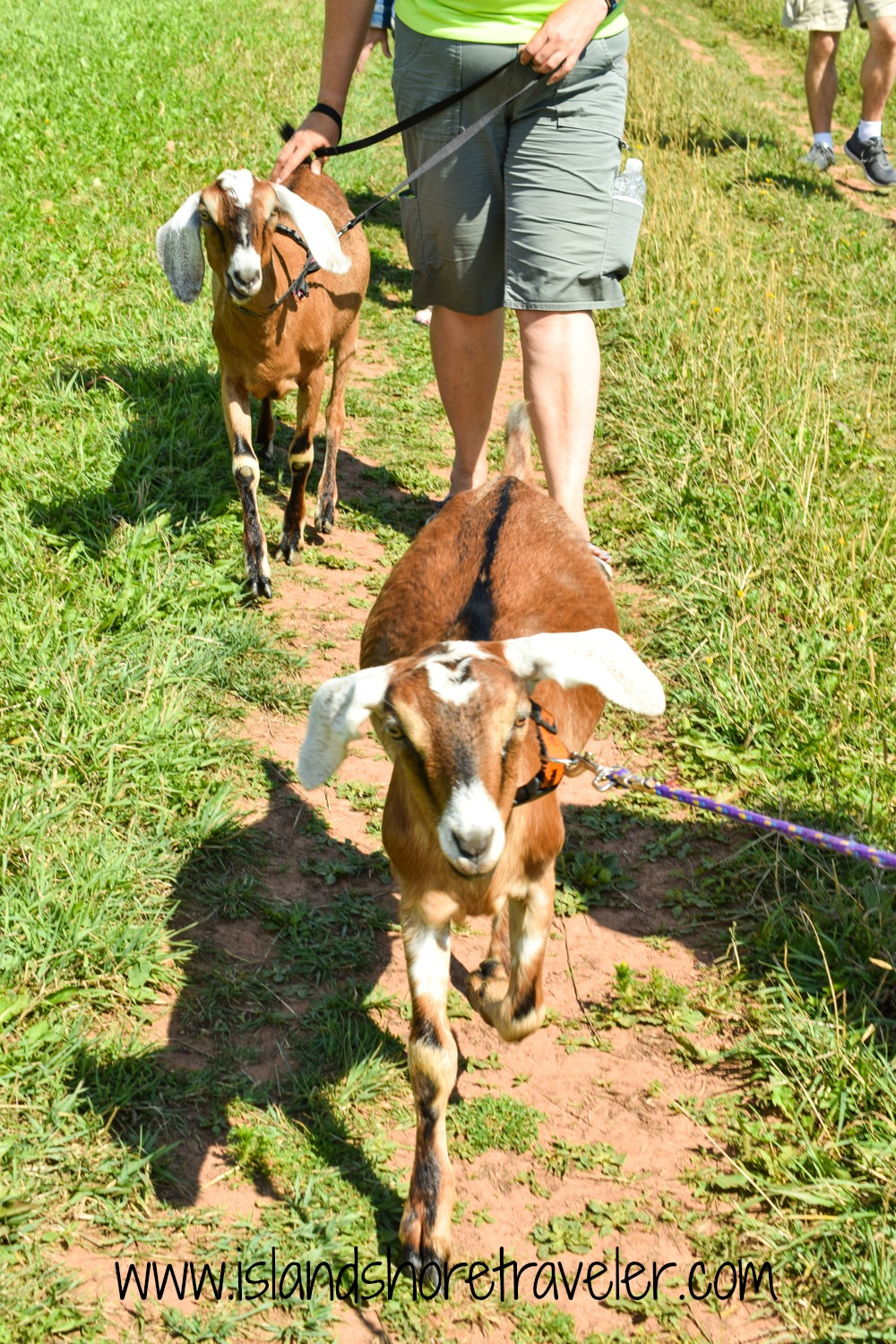 Off on the Goat Walk at Island Hill Farm, Hampshire, PEI